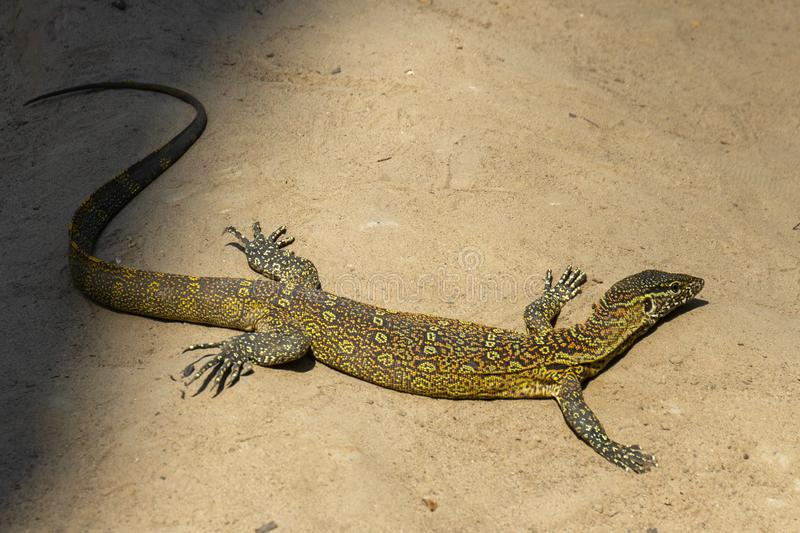 Nile monitor in the sun royalty free stock photos
