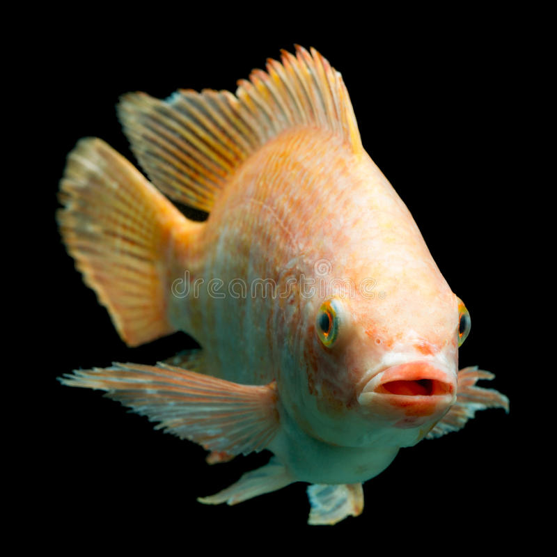 Free Nile Red Tilapia Fish Stock Photography - 61380732