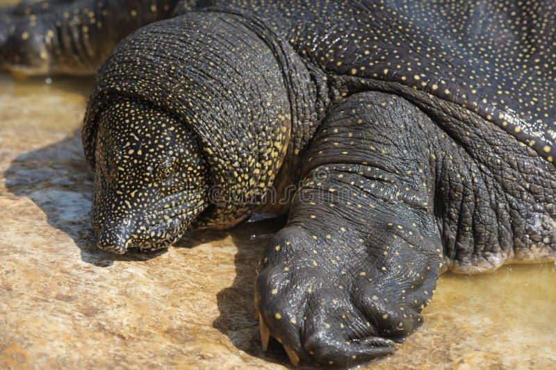 Download Nile Soft-shelled Turtle (Trionyx Triunguis) Stock Photo - Image: 14965454