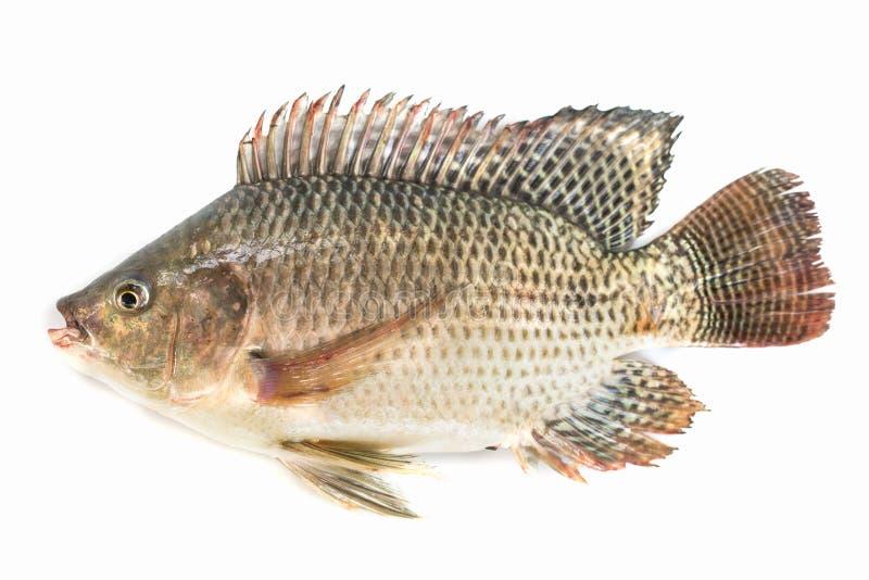 Nile tilapia fish isolated on white background, fish meat.  royalty free stock photos