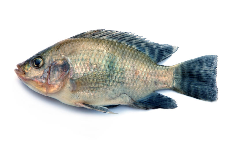 Nile tilapia fish on white background stock photo image for What type of fish is tilapia