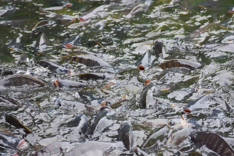 Nile Tilapia Industry Fish-het goed voor de prijs goede smaak is populair in de vijver met korrel stock afbeelding