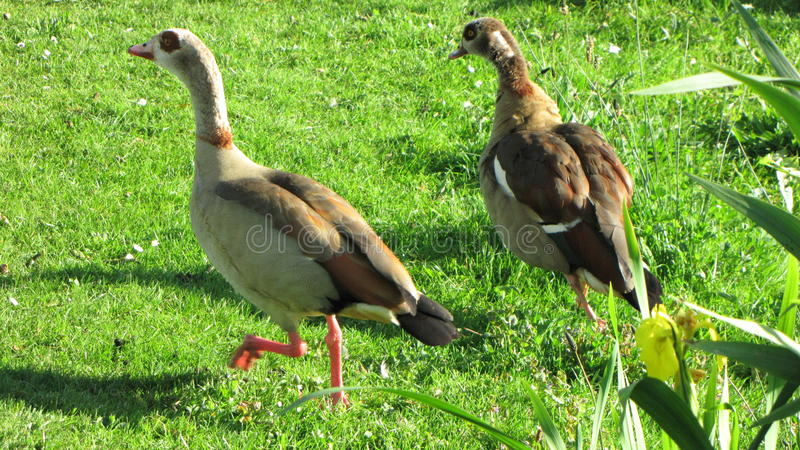 Nilegeese fonctionnant sur l'herbe verte photographie stock