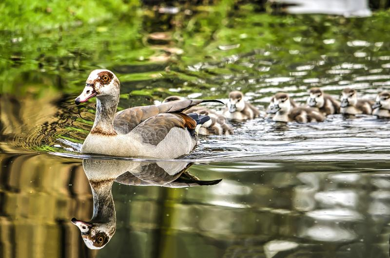 Nilegoose followed by offspring. An adult nilegoose swimming in a polder ditch, reflecting in the calm water and followed by its offspring stock photos