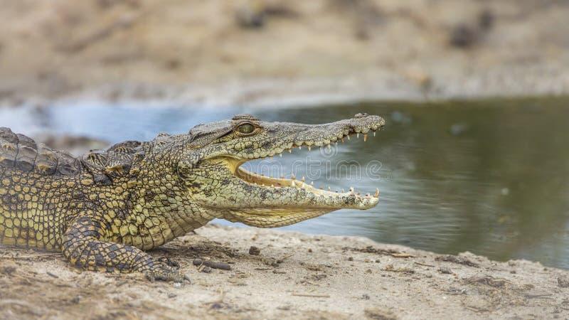 Nilenkrokodil i den Kruger nationalparken, Sydafrika royaltyfri foto