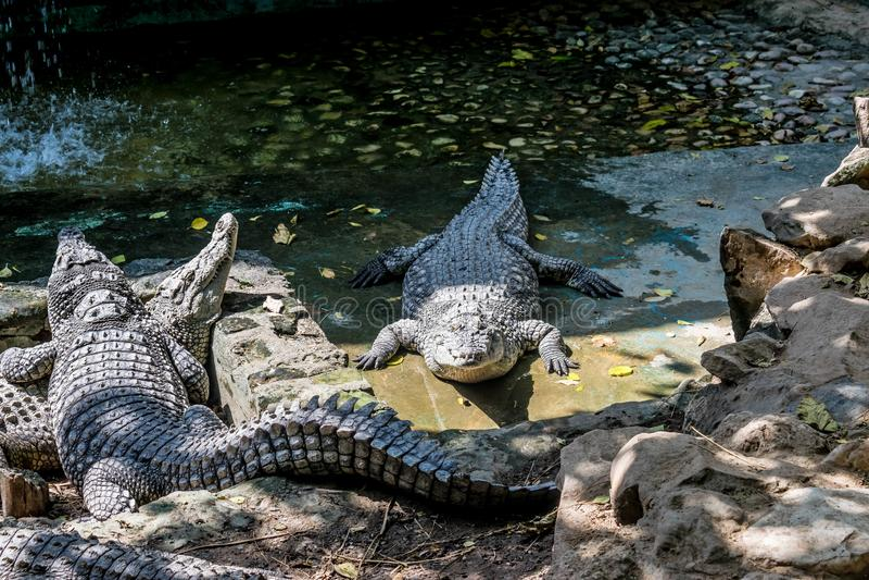 Nilenkrokodiler i zoo arkivfoton
