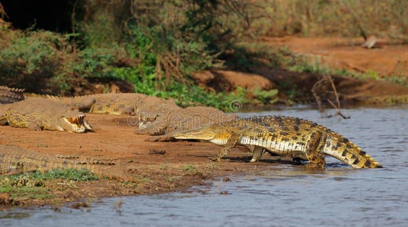 Nilenkrokodiler som värma sig - Kruger Natioal parkerar royaltyfri fotografi