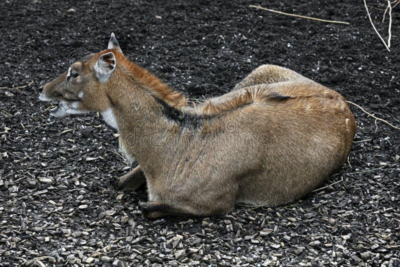 Nilgai antelope female 8 stock photos
