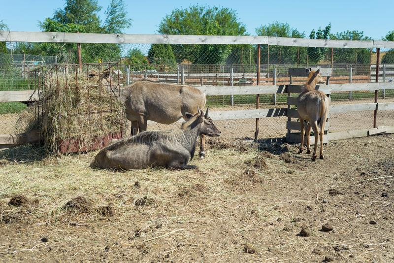 Nilgai Boselaphus tragocamelus, also known as the nilgau or blue bull. The family of Nilgau eats hay behind the fence of the zoo stock photo