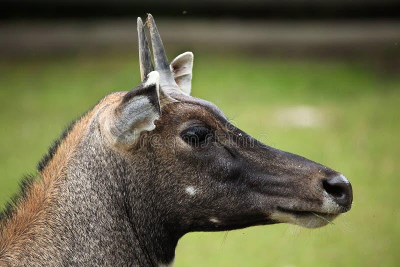 Nilgai (Boselaphus tragocamelus). royalty free stock image