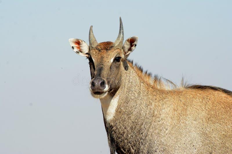 Nilgai - Bull azul da Índia imagens de stock royalty free