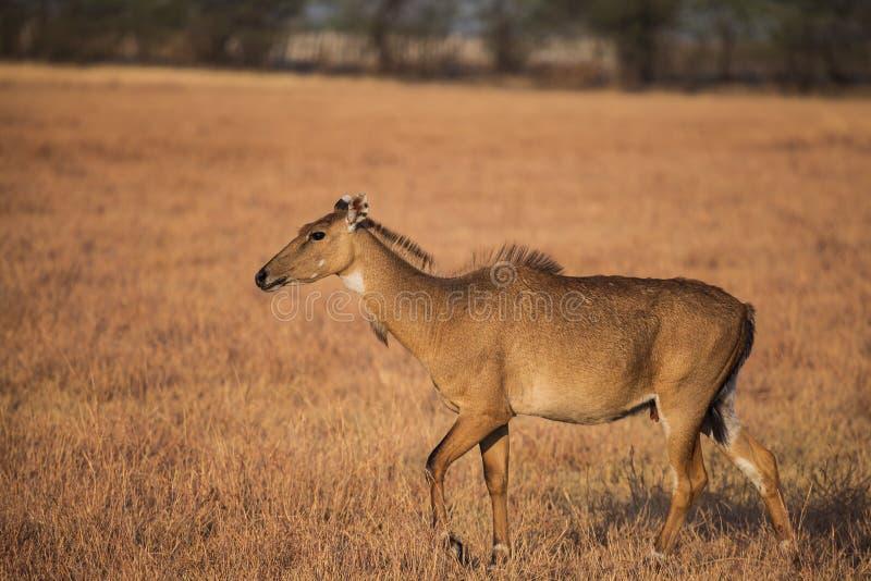 Nilgai in der Natur lizenzfreie stockfotos