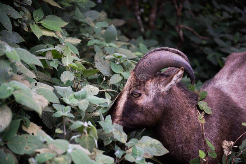Nilgiri Tahr en parc national image stock