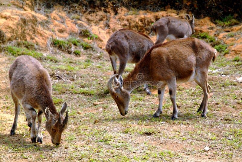 Nilgiri Tahr (hylocrius de Nilgiritragus) fotografia de stock