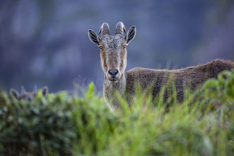 Nilgiri tahr, Nilgiri ibex or simply ibex,from Munnar Kerala royalty free stock images