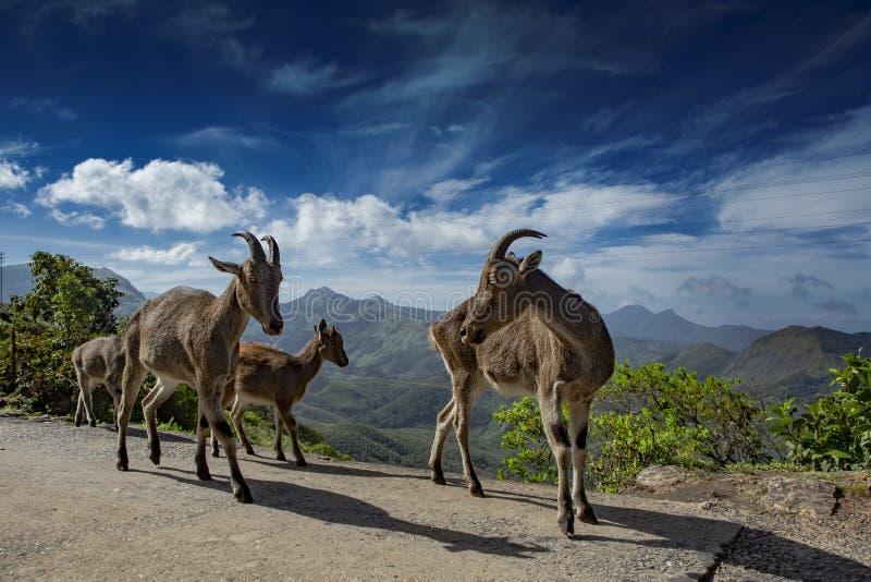 Nilgiri tahr or Nilgiri ibex or simply ibex from Munnar royalty free stock images
