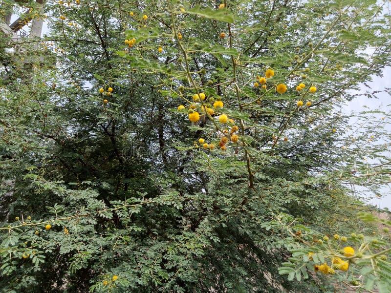 Nilotica de Vachellia imágenes de archivo libres de regalías