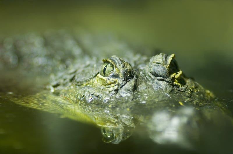 niloticus του Νείλου crocodylus κροκοδείλων στοκ φωτογραφίες με δικαίωμα ελεύθερης χρήσης