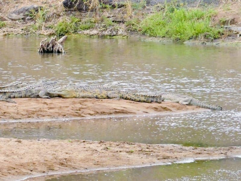 Niloticus för NilenkrokodilCrocodylus, Kruger nationalpark fotografering för bildbyråer