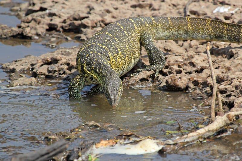 Niloticus Varanus монитора Танзании Нила около реки стоковое фото
