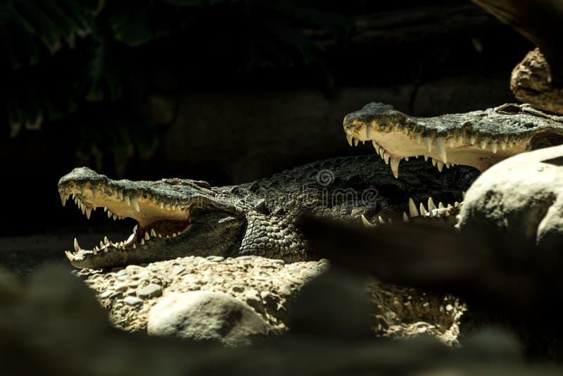 Niloticusen för Nilenkrokodilcrocodylusen är en afrikansk krokodil, den största sötvattens- rovdjuret i Afrika, två Nilenkrokodil arkivfoton