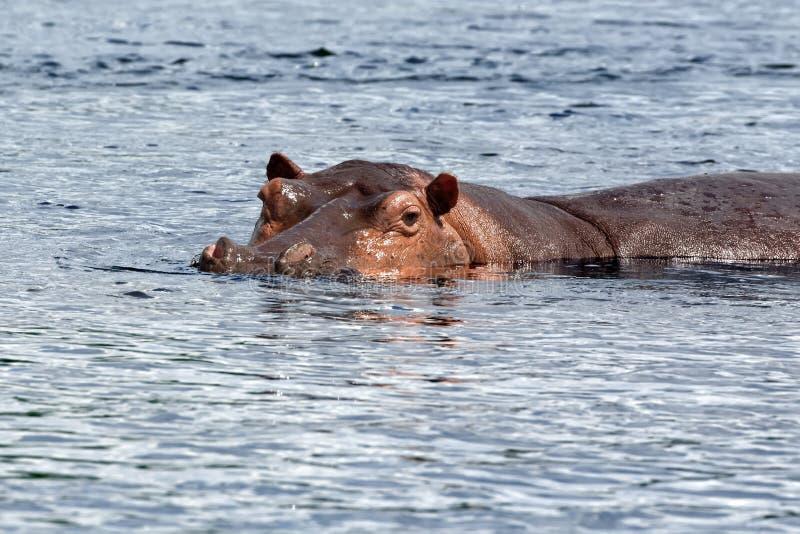 Nilpferd auf Nile River in Afrika lizenzfreies stockbild