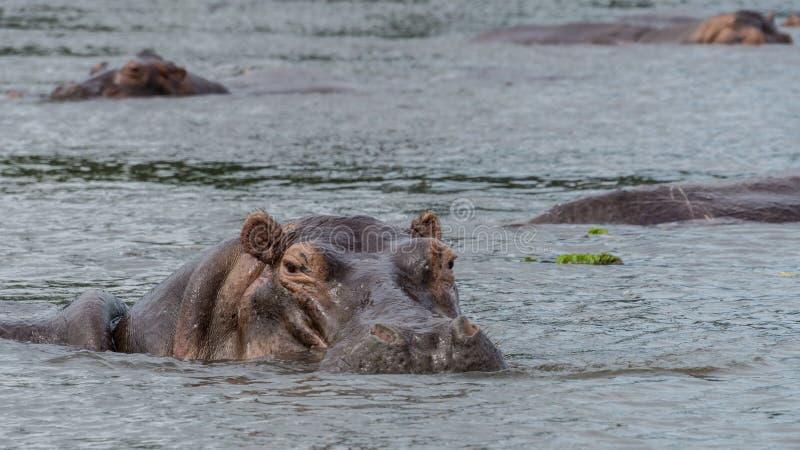 Nilpferd innerhalb des Wassers im Nil stockfoto