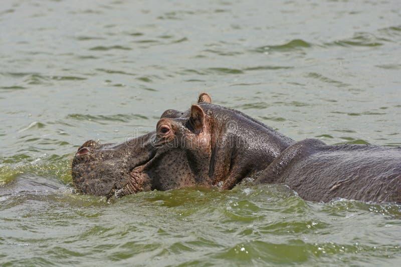 Nilpferd in Nile River lizenzfreie stockbilder