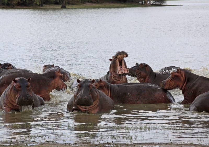 Nilpferd, Selous-Spiel-Reserve, Tansania stockbild