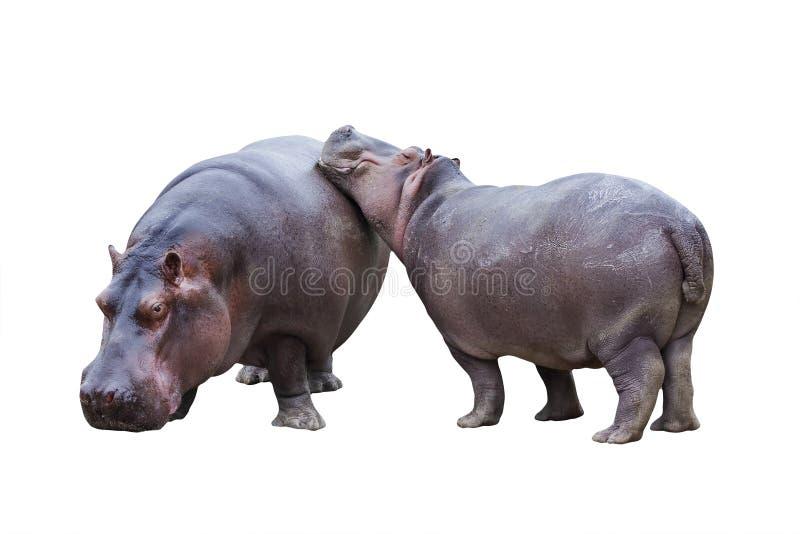 Nilpferdpaare stockbild