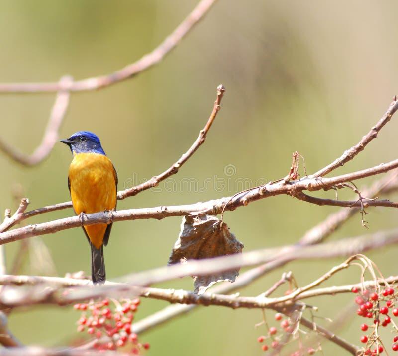 niltava птицы яркое стоковые фото