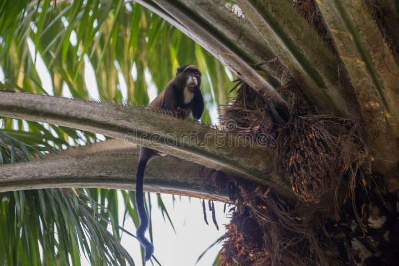 Nimble marmoset eating on the tree (Republic of the Congo). Nimble marmoset happy to eat the fruit on the tree (Nouabal-Ndoki National Park, Republic of the stock photo