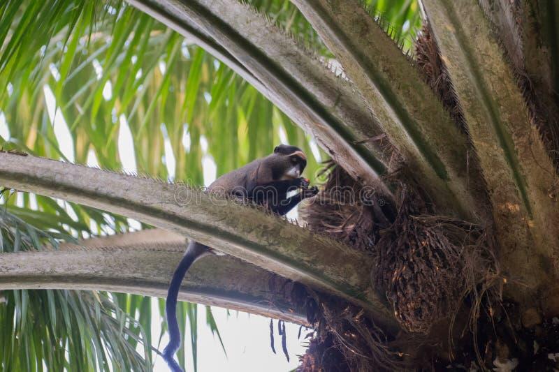 Nimble marmoset going to eat on the tree (Republic of the Congo). Nimble monkey Cercopithecus neglectus found a food and going to eat on the tree (Nouabal-Ndoki stock images
