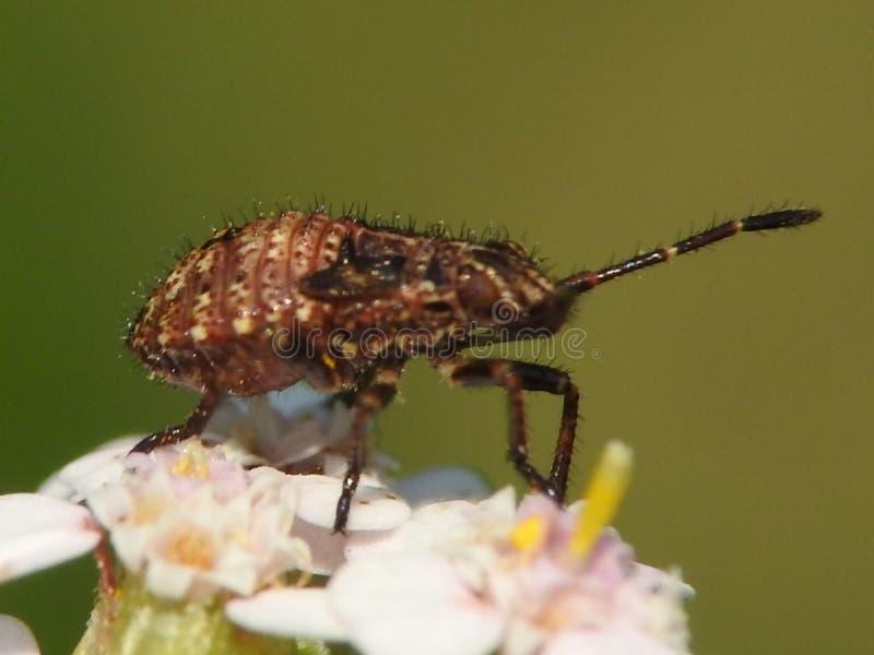 Nimph dell'insetto fotografia stock