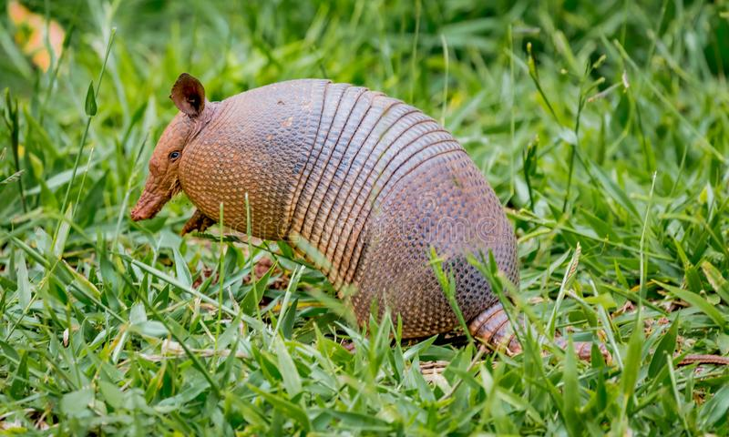 Nine-banded armadillo of Brazil. South America royalty free stock photography
