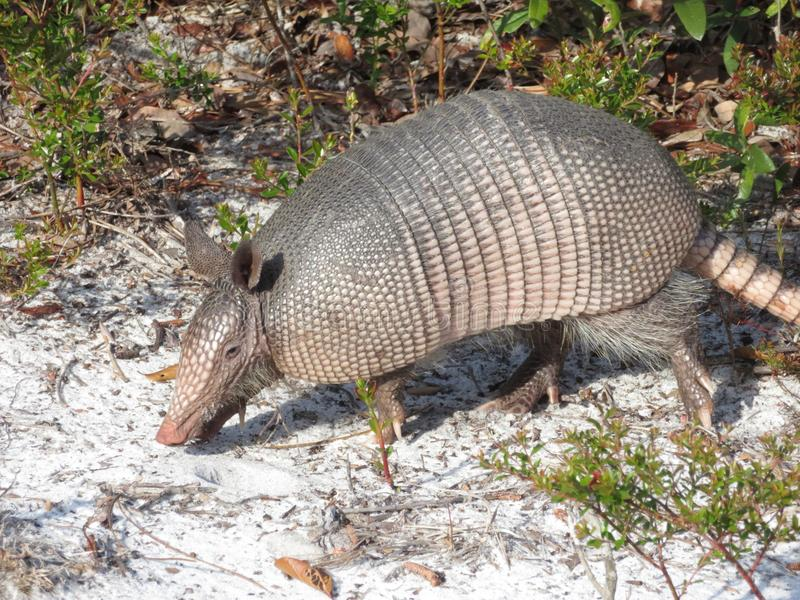 Nine-Banded Armadillo in Cedar Key, Florida stock images
