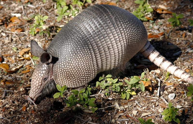 Nine Banded Armadillo Closeup. A nine banded armadillo rooting for insects stock photo