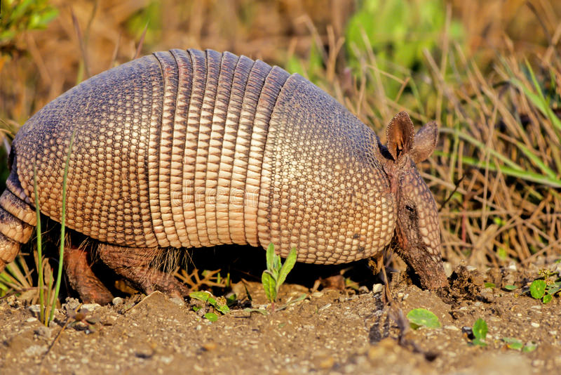 Nine-banded Armadillo, Dasypus novemcinctus royalty free stock photography