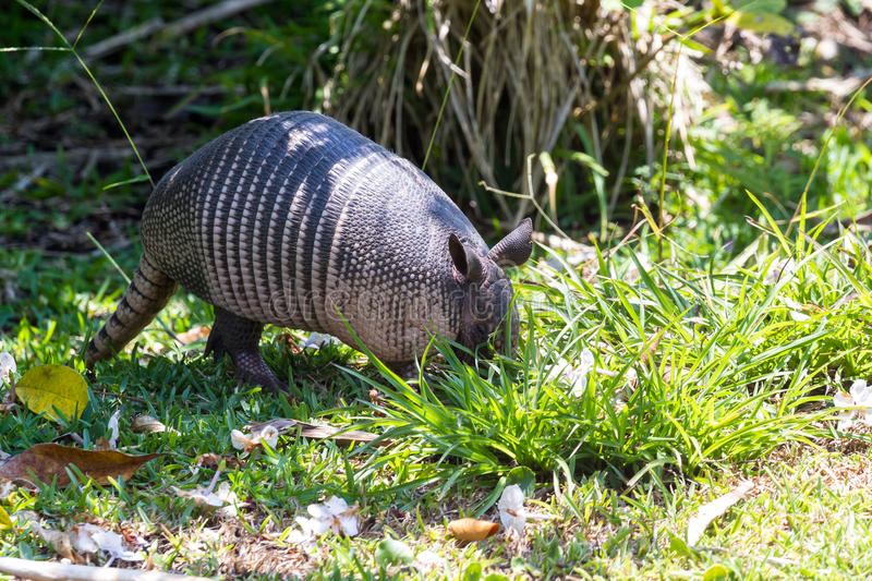Nine-banded armadillo- Dasypus novemcinctus. Close up of a nine banded armadillo in a yard looking for insects on the ground royalty free stock photos