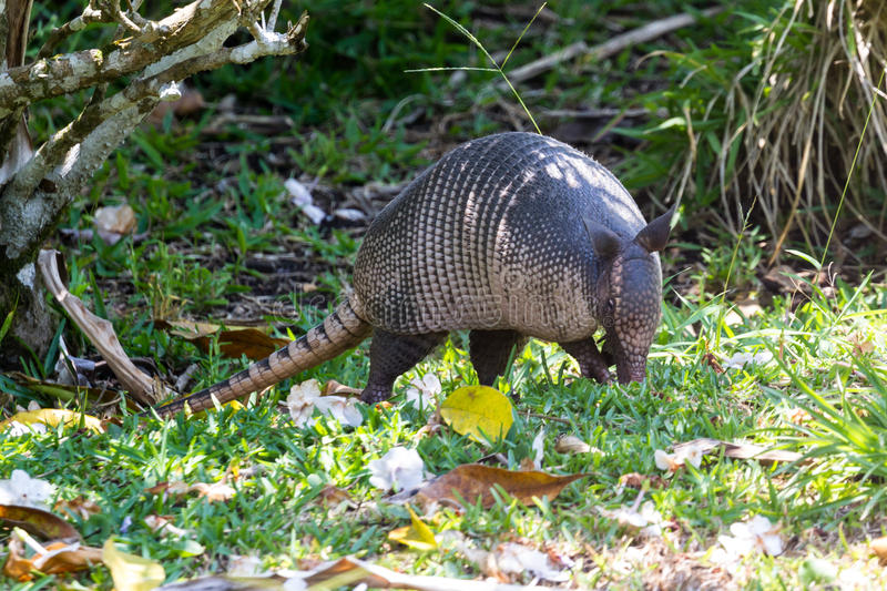 Nine-banded armadillo- Dasypus novemcinctus. Close up of a nine banded armadillo in a yard looking for insects on the ground royalty free stock photography