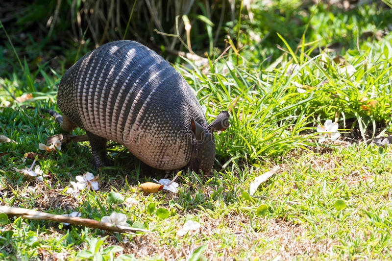 Nine-banded armadillo- Dasypus novemcinctus. Close up of a nine banded armadillo in a yard looking for insects on the ground royalty free stock photo
