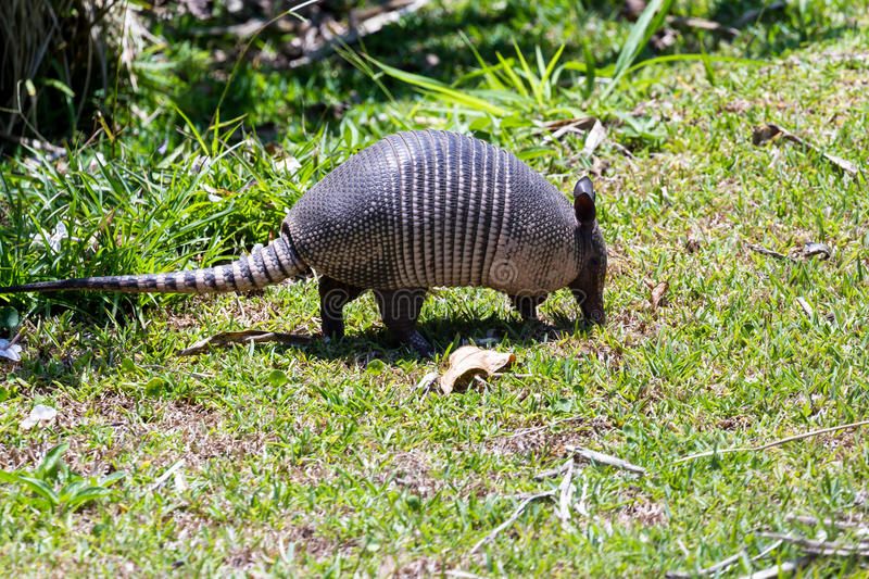 Nine-banded armadillo- Dasypus novemcinctus. Close up of a nine banded armadillo in a yard looking for insects on the ground stock images