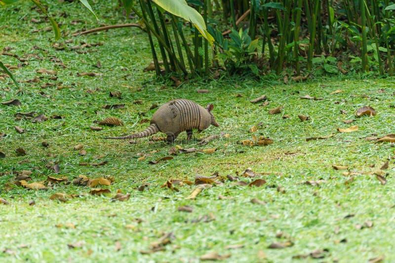 Nine-Banded Armadillo (Dasypus novemcinctus) in Costa Rica. Armadillos, dasypodidae, mammal, mammals, nature, animal, animals, central, america, wild royalty free stock images