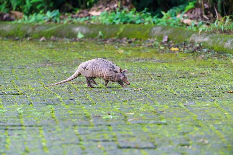 Nine-Banded Armadillo (Dasypus novemcinctus) in Costa Rica royalty free stock photos
