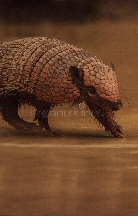 Nine-banded armadillo, Dasypus novemcinctus stock images