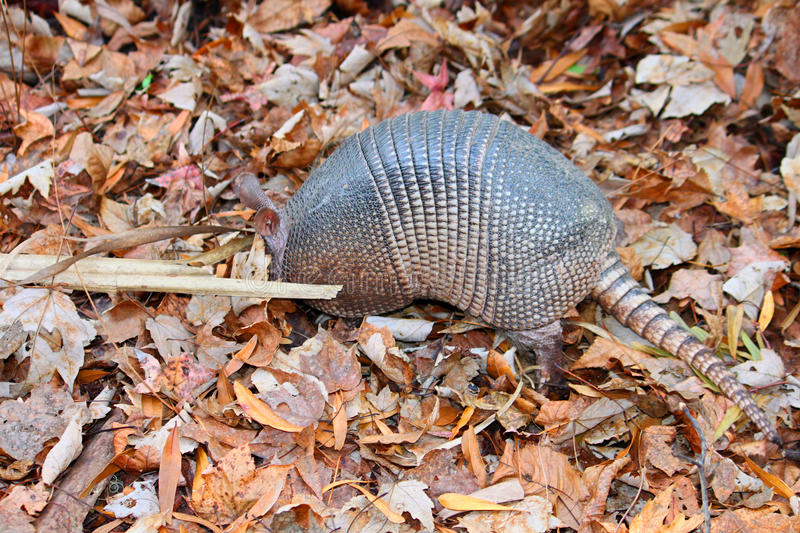 Nine-banded Armadillo (Dasypus novemcinctus) royalty free stock photography