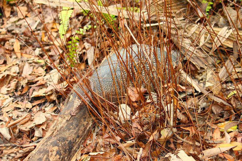 Nine-banded Armadillo Dasypus novemcinctus. In Highlands Hammock State Park of Florida royalty free stock image