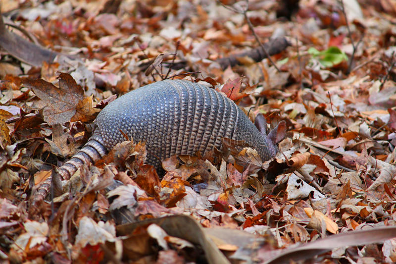 Nine-banded Armadillo Florida royalty free stock images
