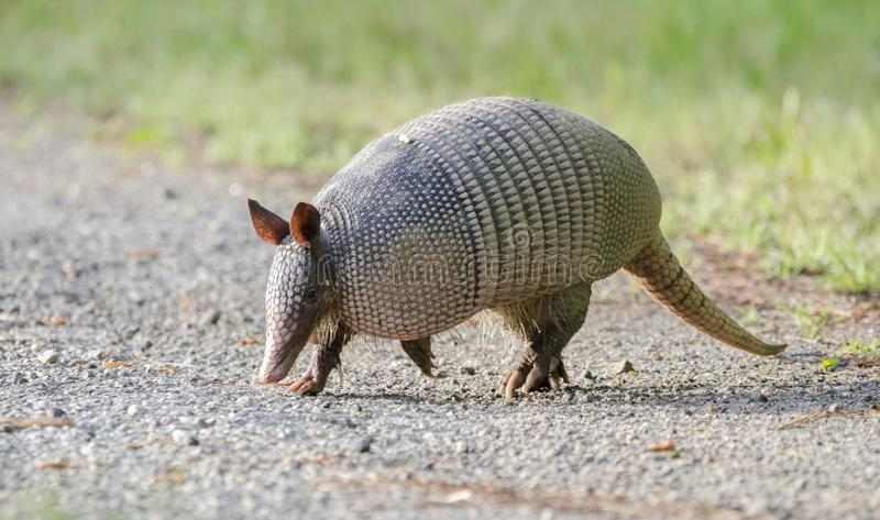 Nine banded armadillo on gravel road, Dasypus novemcinctus, Monroe GA USA. Nine banded armadillo photographed in spring in Monroe, Walton County, Georgia, USA royalty free stock photos