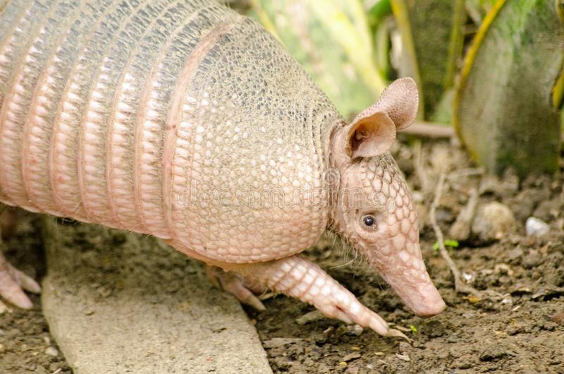 Wild Armadillo, Tobago stock photography
